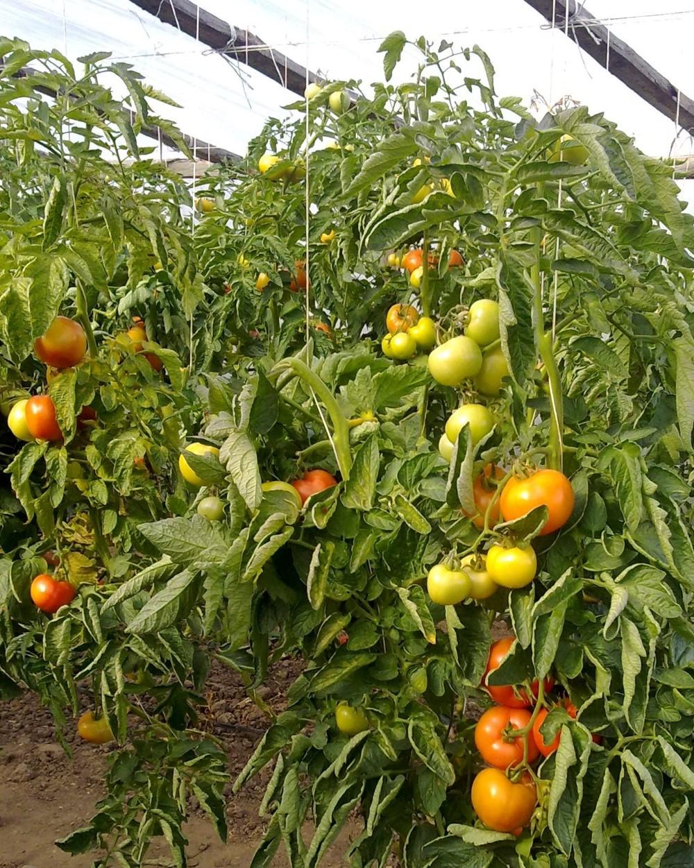 17012011480 - Obst & Gemüse aus Polen